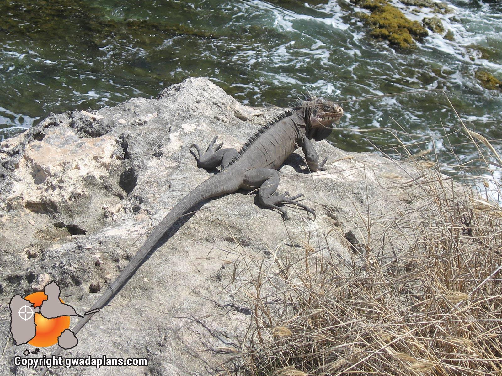 Iguane adulte - La Désirade