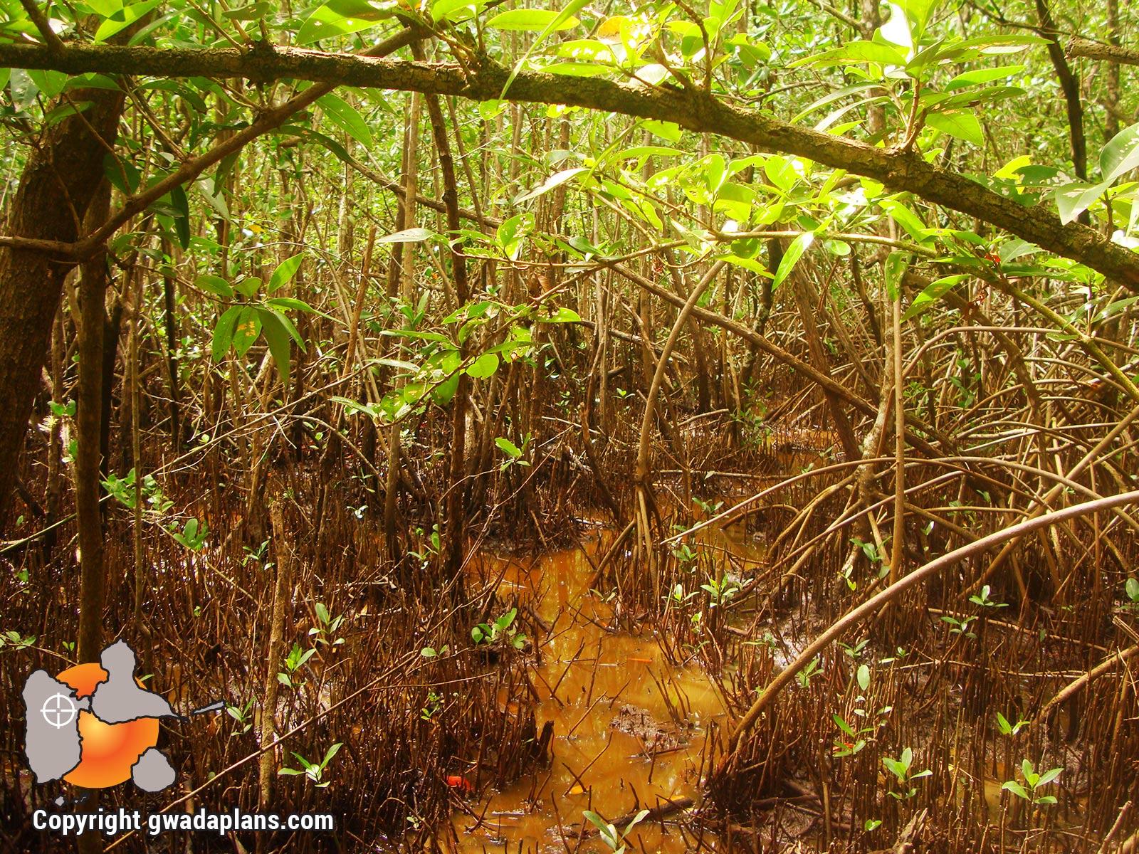 Mangrove - Réserve marine de Guadeloupe