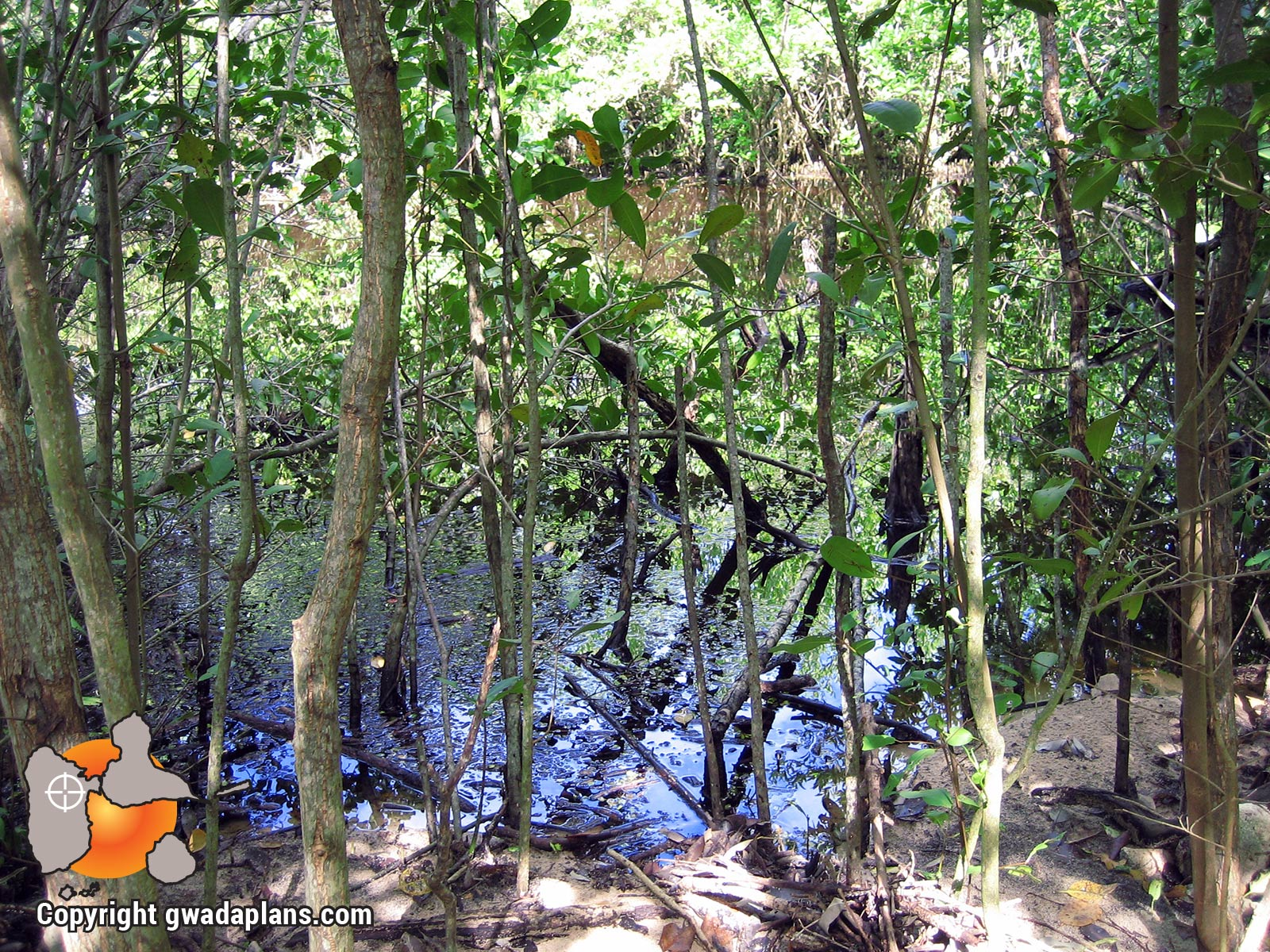 Mangrove - Petit Canal