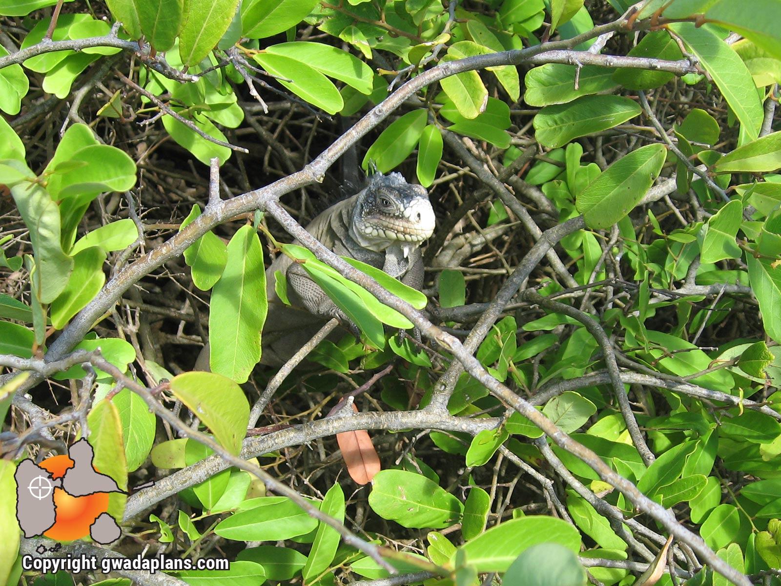 Iguane de Petite Terre