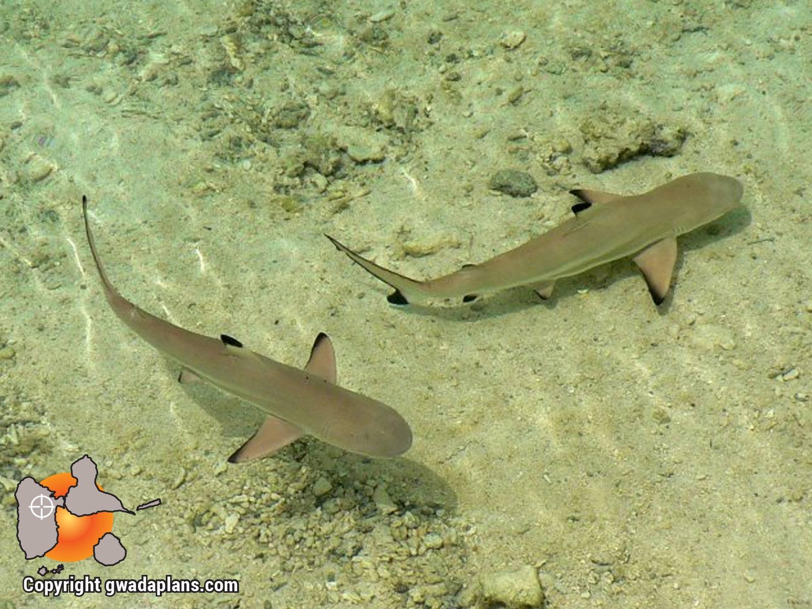 Bébés requins citrons en bord de plage à Petite-Terre