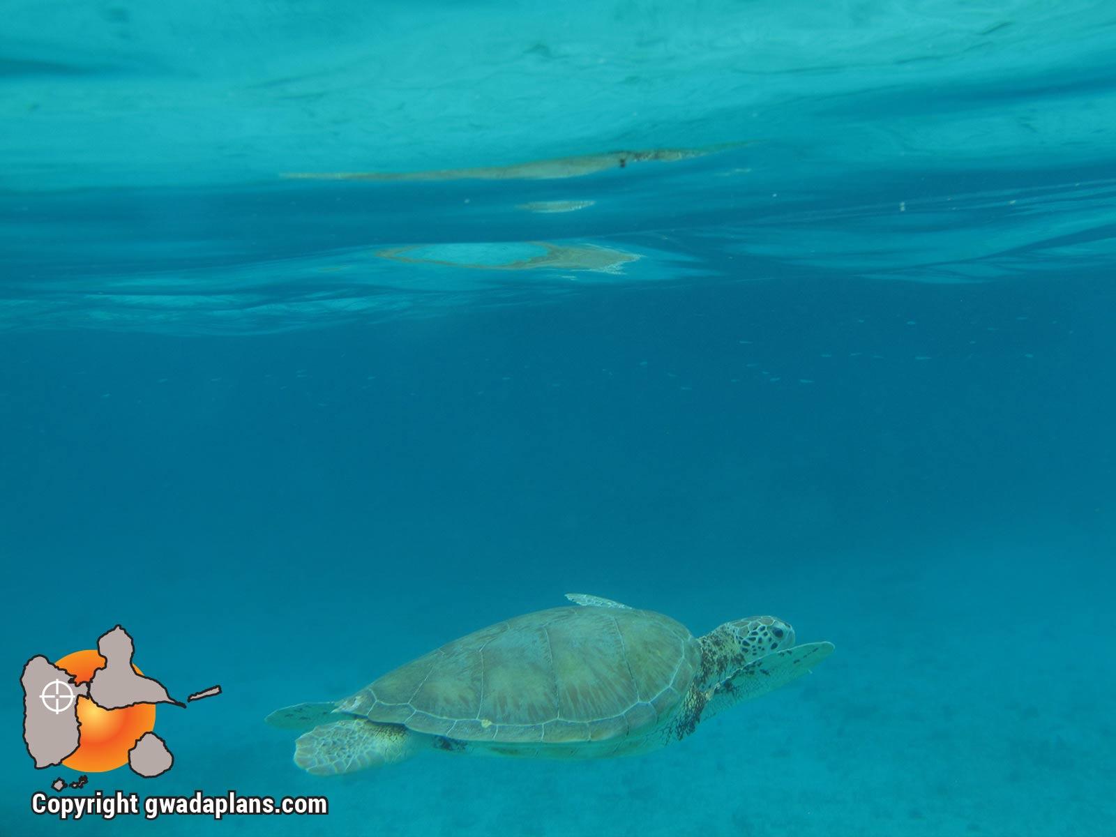 Jeune tortue verte de Petite Terre