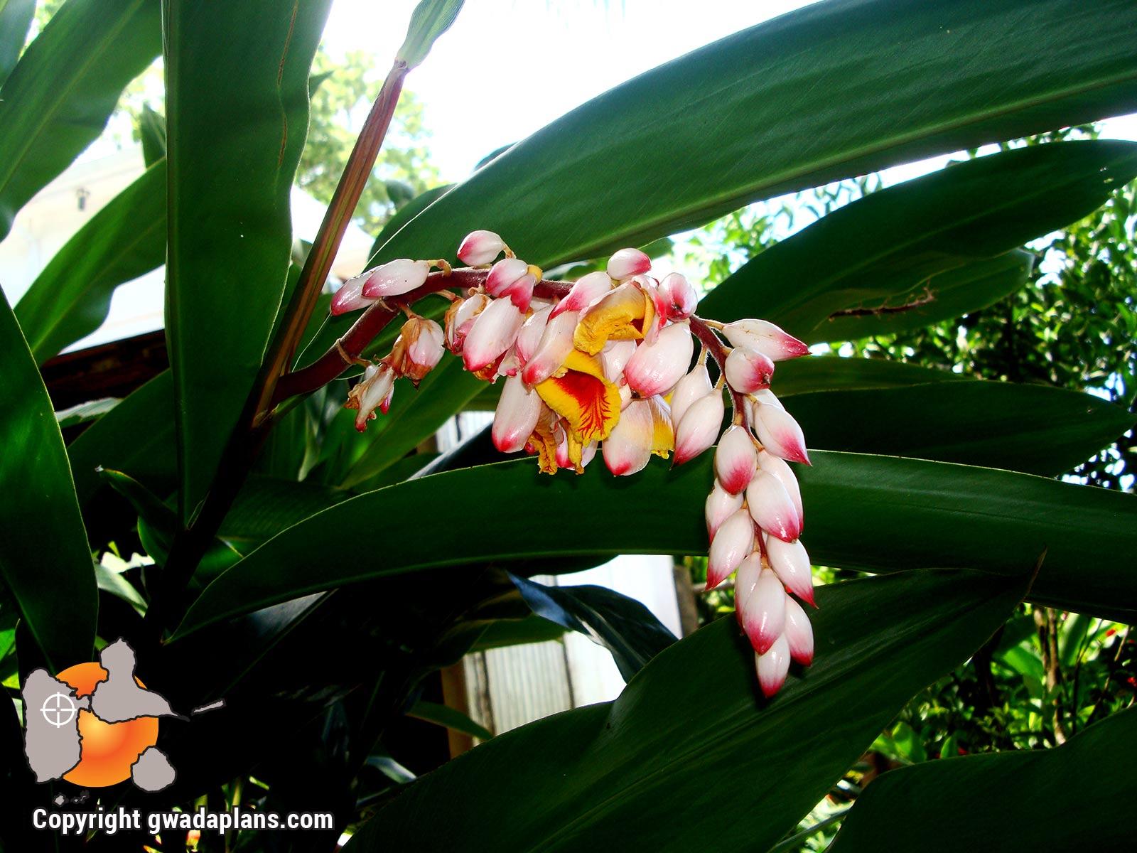 A tout maux - Fleurs tropicales