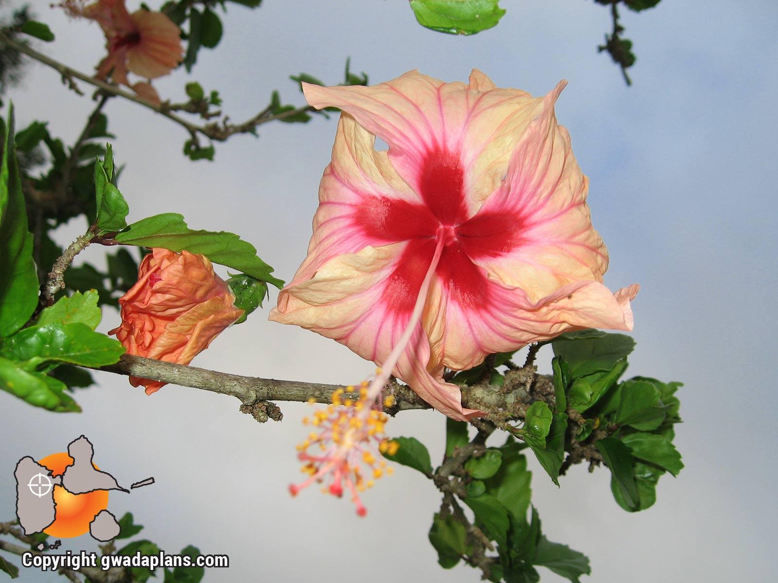 Hibisus rose - Fleurs de Guadeloupe