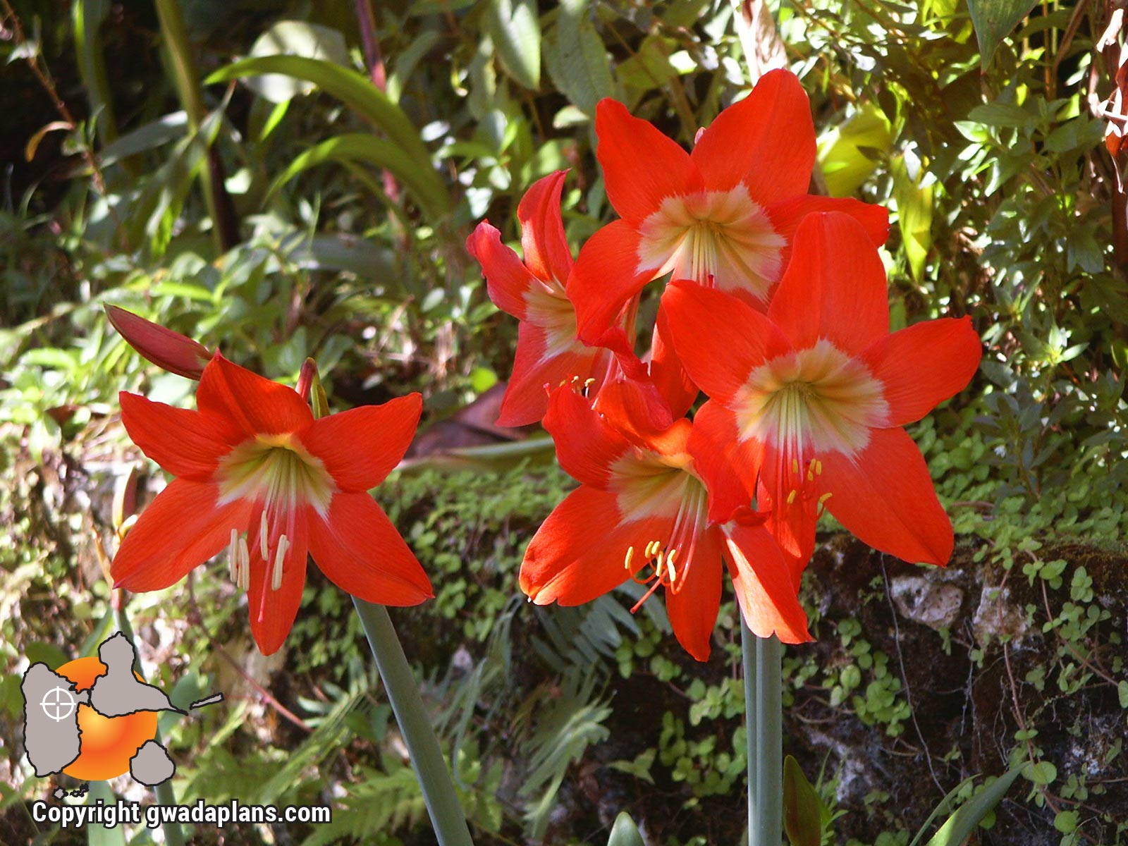 Lys orange - Fleurs de Guadeloupe