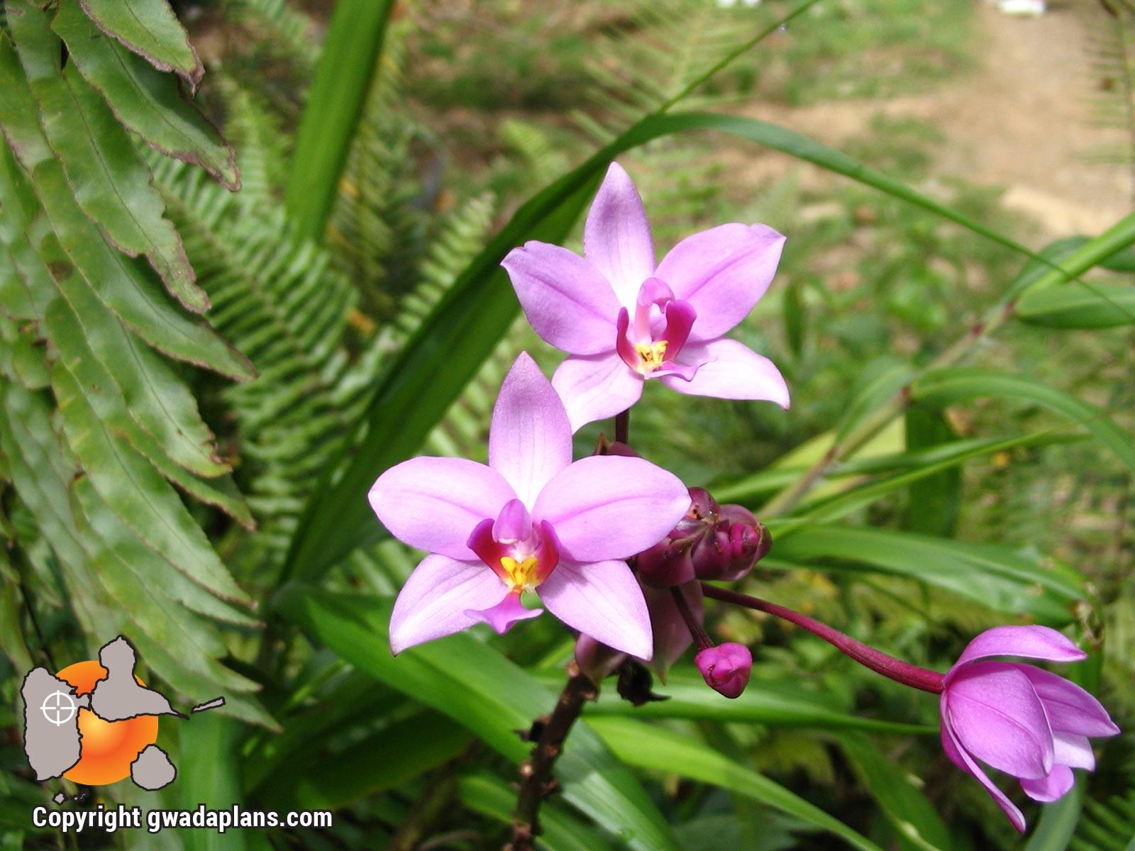 Orchidée sauvage - Fleurs de Guadeloupe