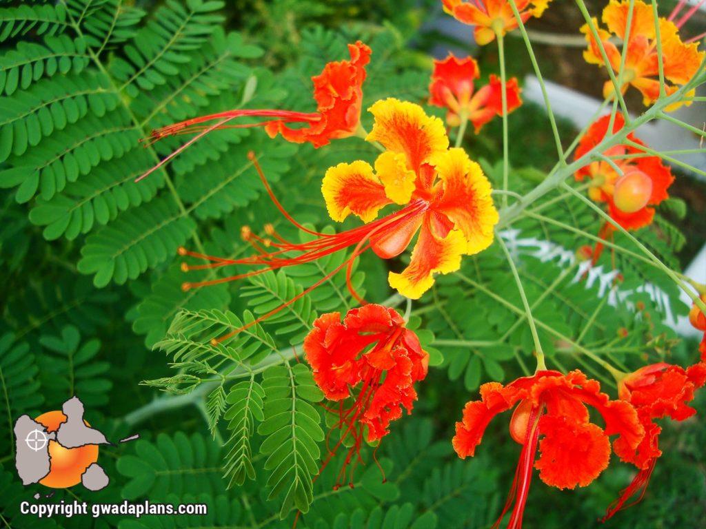 Petit flamboyant rouge - Fleurs de Guadeloupe