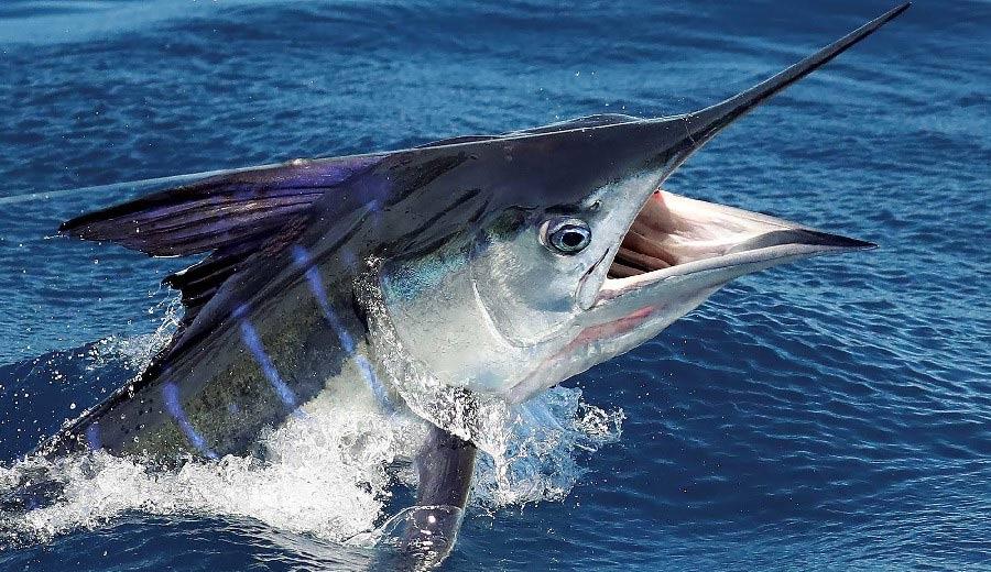 Marlin - Gastronomie Guadeloupe