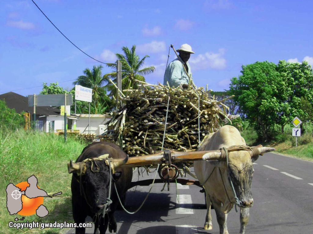 Char à bœufs - Vie locale Guadeloupe