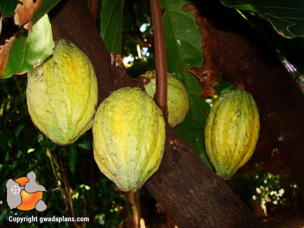 Foresta - Cacao jaune