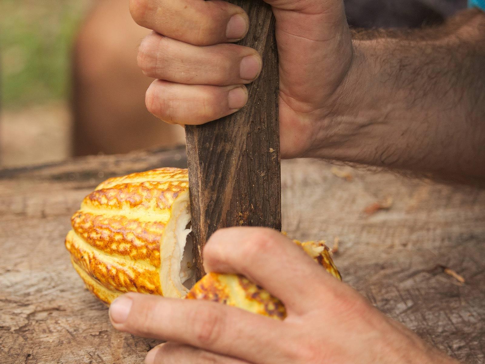 Culture du cacao : ouverture de la cabosse