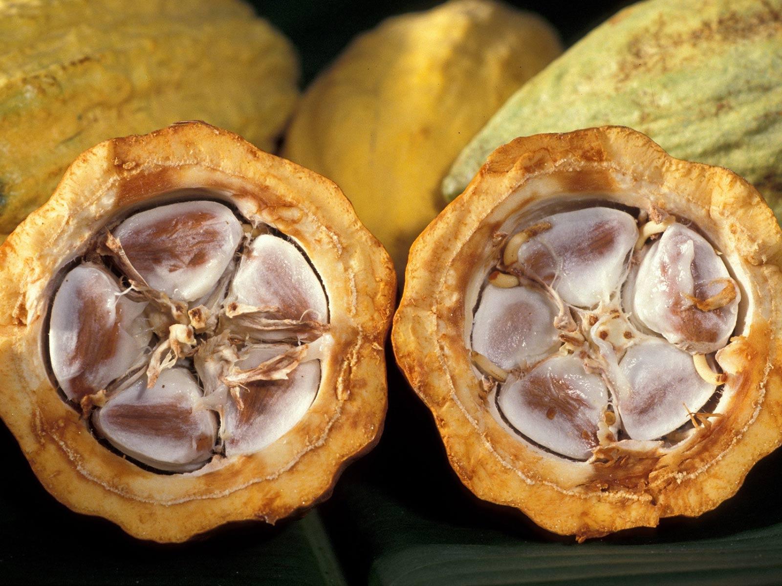 Culture du cacao : les fèves sont entourées du mucilage