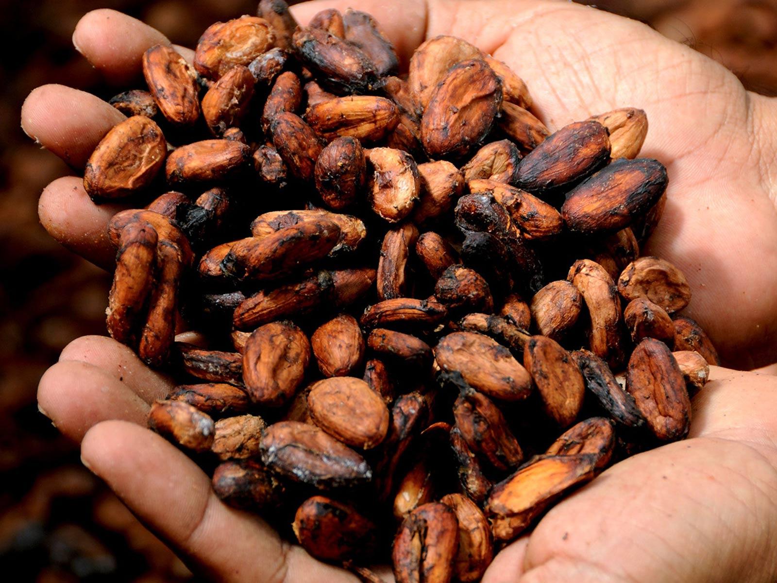 Culture du cacao : les fèves avant torréfaction
