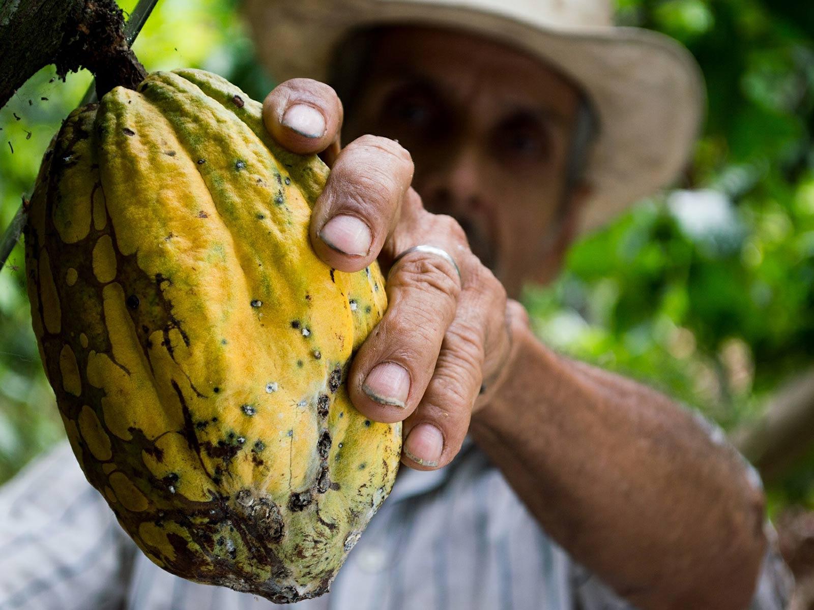 Culture du cacao : récolte des cabosses à maturié