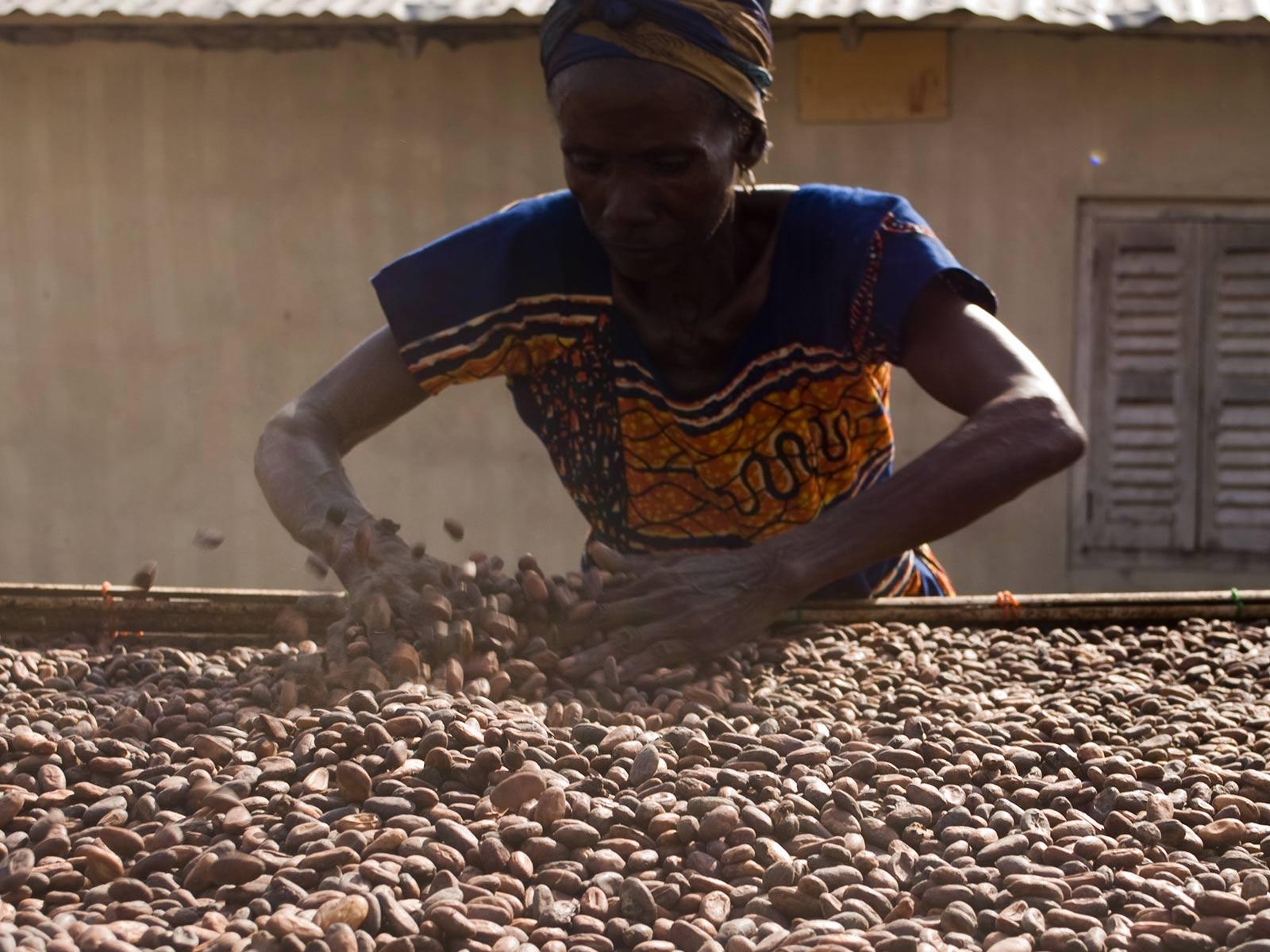Culture du cacao : sèchage des fèves