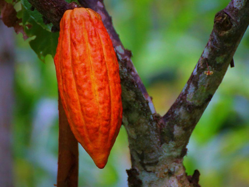 Trinitario - cacao orange